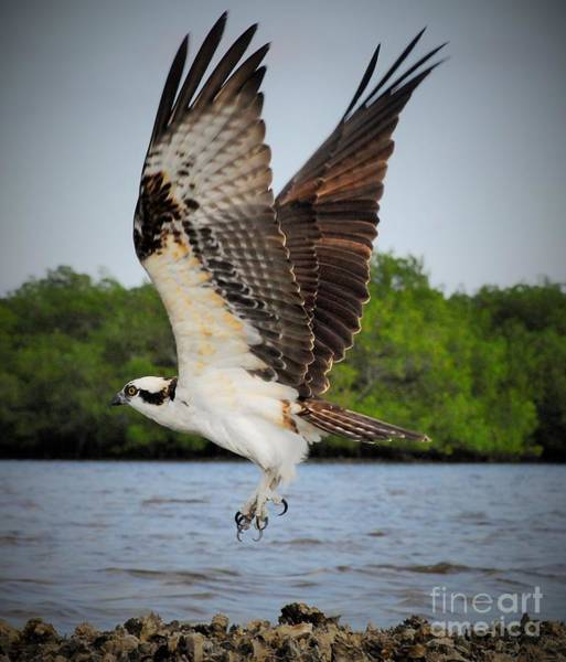 Fish Eagle Photograph - Too The Clouds by Quinn Sedam