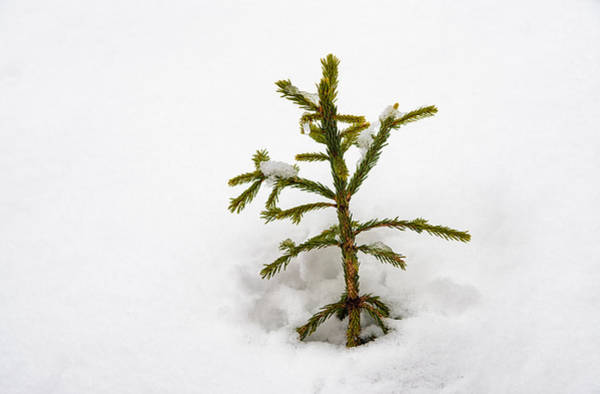 Photograph - Top Of A Green Conifer Tree With Lots Of Snow In Winter by Matthias Hauser