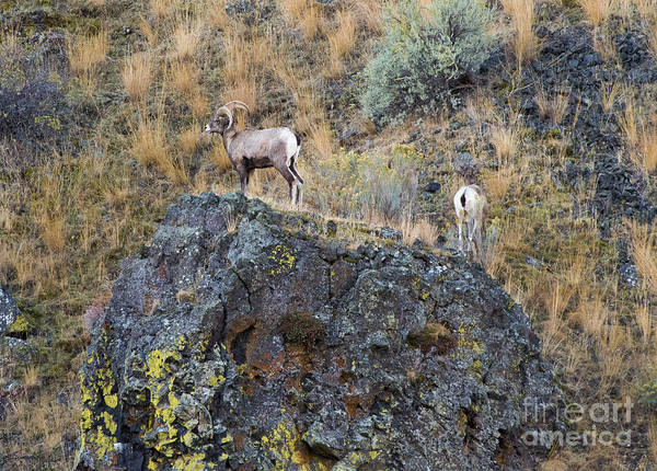 Bighorn Sheep Wall Art - Photograph - Top Of The Rock by Mike  Dawson