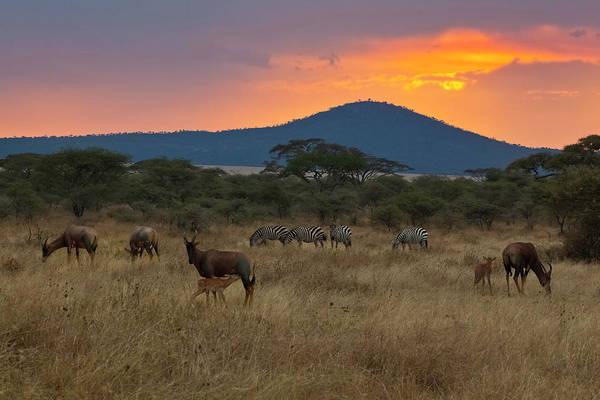 Savannah Photograph - Topi And Zebra At Sunset, Serengeti by John Wang