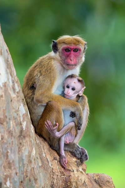 Old World Monkey Photograph - Toque Macaque Mother And Baby by Peter J. Raymond