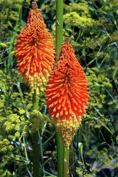 Red-hot Poker Photograph - Torch Lily (kniphofia 'prince Igor') by Neil Joy/science Photo Library