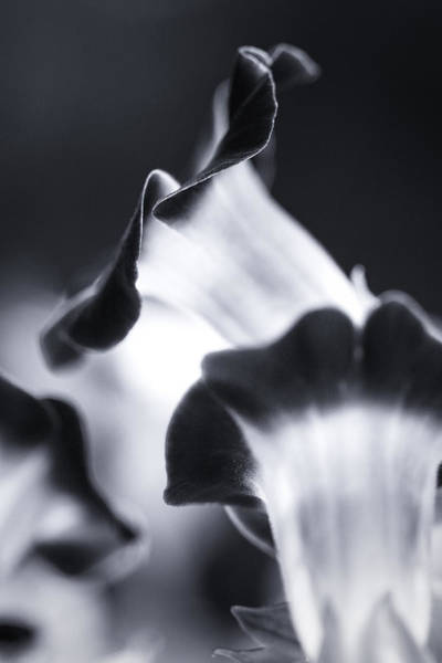 Photograph - Torenia In Bw by Maria Robinson