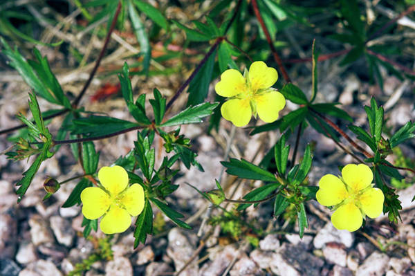 Cairngorms Photograph - Tormentil (potentilla Erecta) by Duncan Shaw/science Photo Library