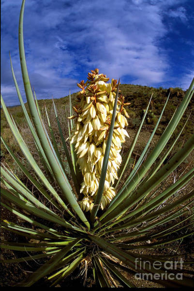 Chisos Mountains Photograph - Torrey Yucca In The Chisos Mountains by Gregory G. Dimijian, M.D.