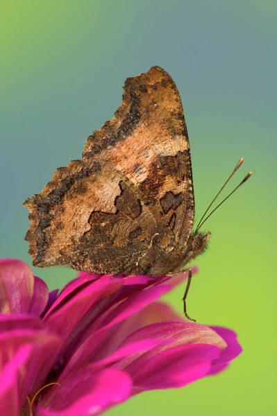 Tortoiseshell Photograph - Tortoise-shell Butterfly, Nymphalis by Darrell Gulin