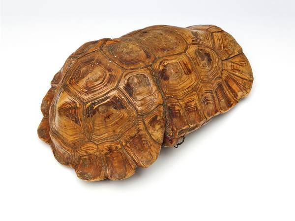 Tortoise Shell Photograph - Tortoise Shell by Ucl, Grant Museum Of Zoology
