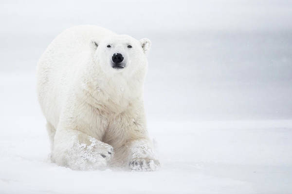 Polar Bear Photograph - Total White by Alessandro Catta