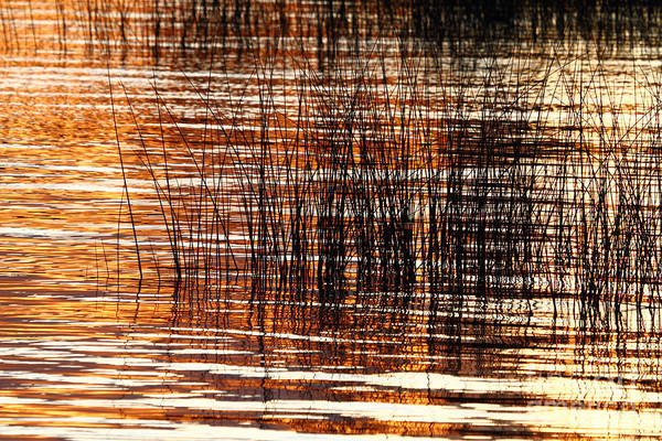 Photograph - Totora Reeds At Sunset by James Brunker