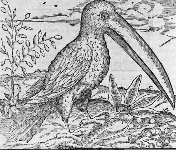 Ramphastidae Photograph - Toucan, 16th Century by Science Photo Library