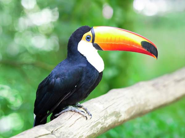 Ramphastidae Photograph - Toucan by Ktsdesign/science Photo Library
