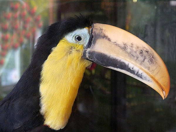 Photograph - Toucan Play At That by Richard Reeve