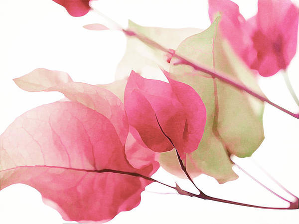 Photograph - Touch Of Pink Bougainvillea by Fraida Gutovich
