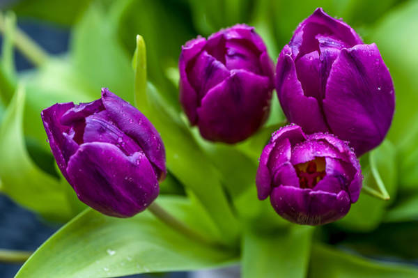 Queens Birthday Photograph - Towards You. Purple Tulips by Jenny Rainbow