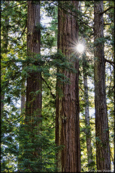 Photograph - Towering Redwoods by Erika Fawcett