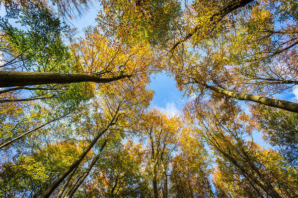 Photograph - Towering Trees. by Gary Gillette