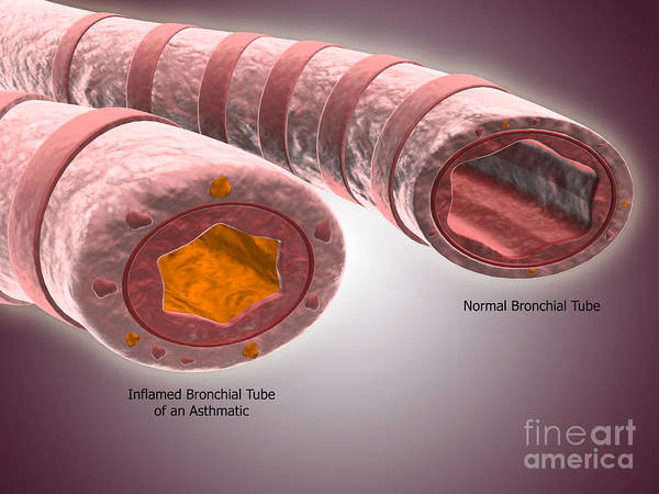 Digital Art - Trachea Cross-section Showing Normal by Stocktrek Images