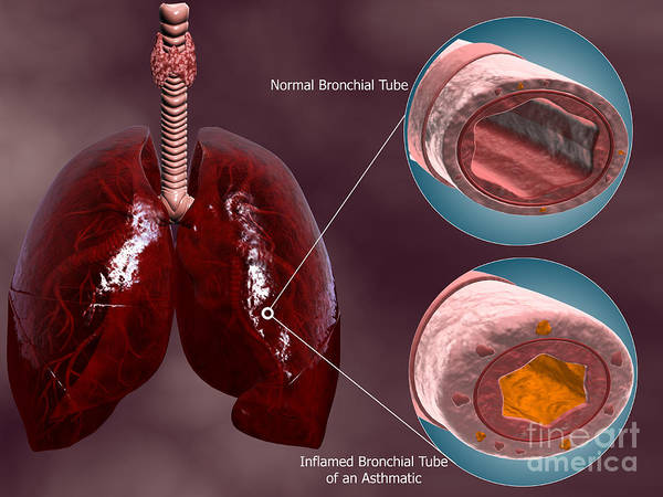 Digital Art - Trachea Cross-section With Lungs by Stocktrek Images