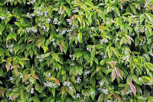 Jasmine Photograph - Trachelospermum Jasminoides by Geoff Kidd/science Photo Library