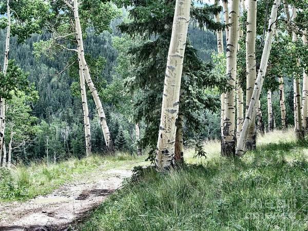 Wall Art - Photograph - Track Through High Country Aspen by Dana Carroll
