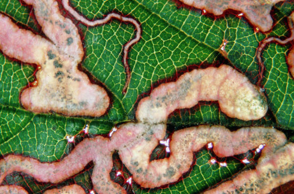 Larva Wall Art - Photograph - Tracks Made By Golden Pigmy Moth Larva In Bramble. by Dr Jeremy Burgess/science Photo Library
