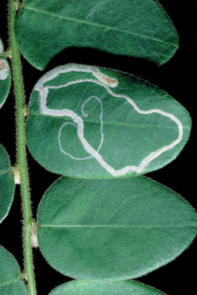 Miners Photograph - Tracks Of Leaf Miner On Oval Leaf From Rainforest by Dr Morley Read/science Photo Library