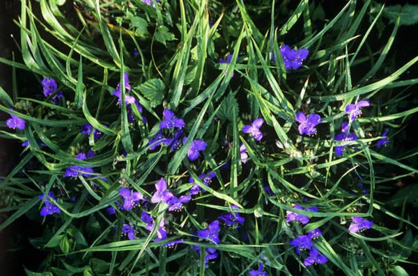 Tradescantia Photograph - Tradescantia Flowers by A C Seinet/science Photo Library