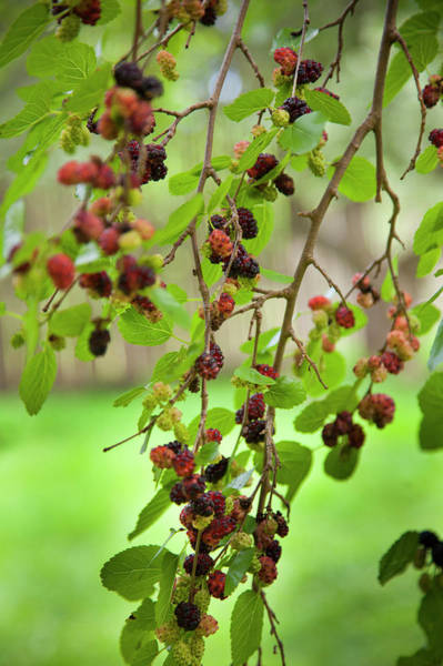 Onondaga Photograph - Traditional Foods Such As Berries by Angel Wynn