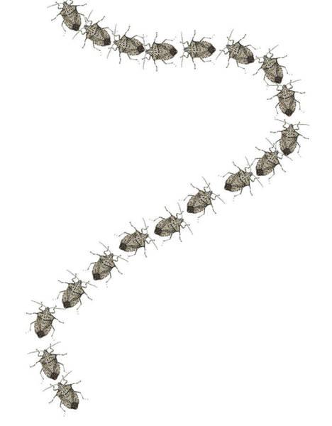 Trail Of Stink Bugs Art Print