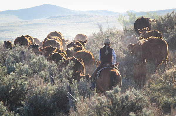 Photograph - Trailing Cattle by Diane Bohna