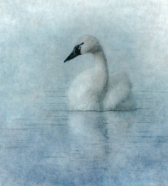 Tundra Swan Photograph - Tranquility by Angie Vogel