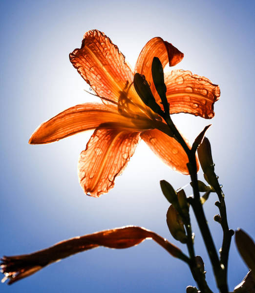 Lilly Photograph - Transparency by Aaron Aldrich