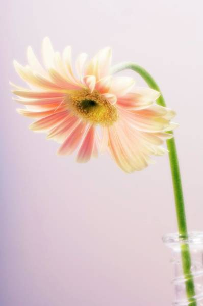 African Daisies Photograph - Transvaal Daisy (gerbera Jamesonii) by Maria Mosolova/science Photo Library