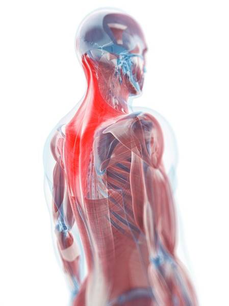 Body Parts Photograph - Trapezius Muscle by Sciepro/science Photo Library
