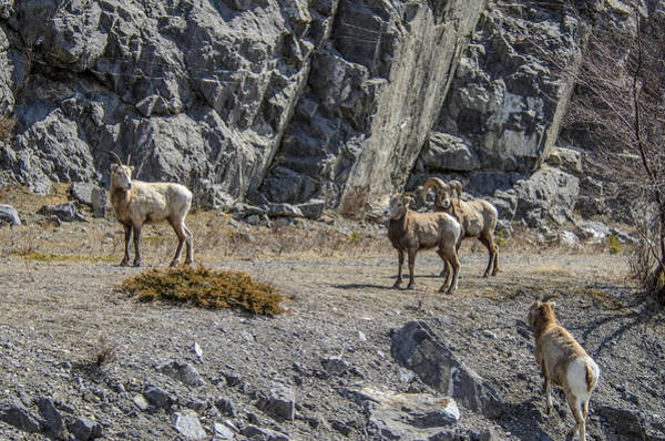 Photograph - Travelling Together Big Horn Sheep  by Roxy Hurtubise