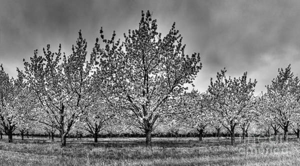 Traverse City Photograph - Traverse City Cherry Blossoms by Twenty Two North Photography