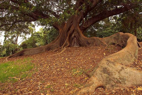 Photograph - Tree At Royal Botanic Garden by Stuart Litoff