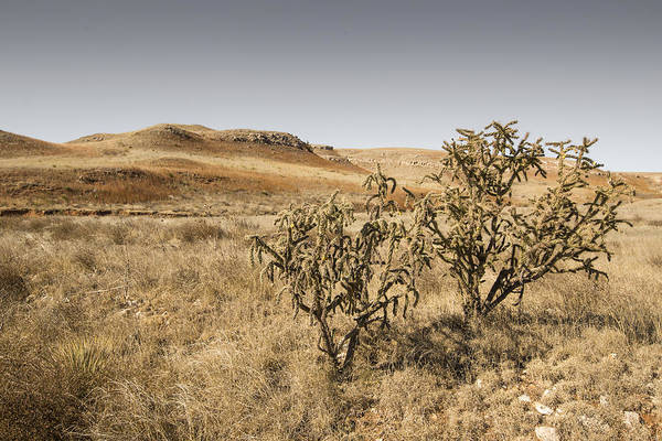 Tree Cholla Cacti At The Big Basin Prairie Preserve Art Print