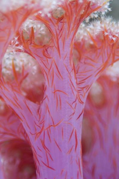 Mabul Photograph - Tree Coral by Scubazoo/science Photo Library