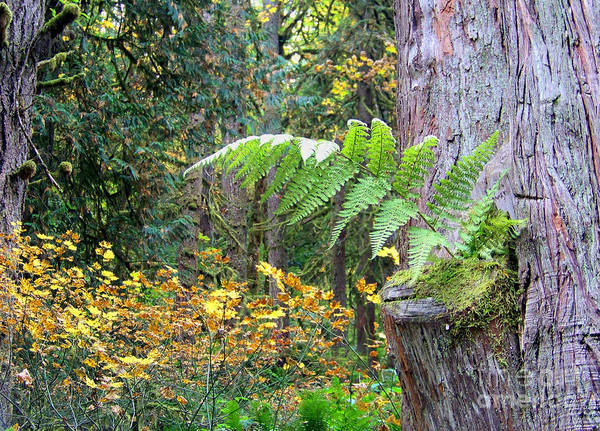 Photograph - Tree Fern by Charles Robinson
