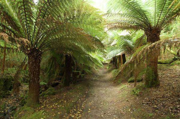 Fern Frost Photograph - Tree Ferns On Valentia Island by Sinclair Stammers