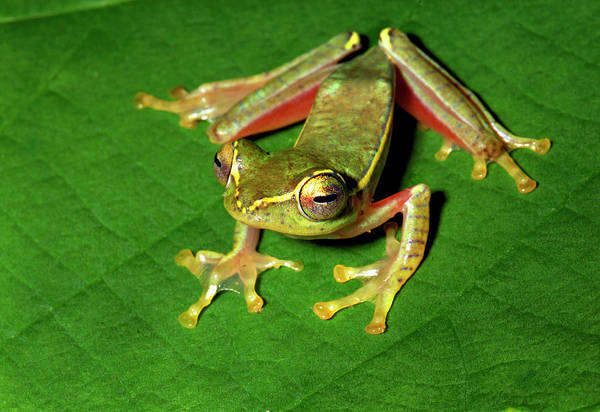 Wall Art - Photograph - Tree Frog by K Jayaram/science Photo Library