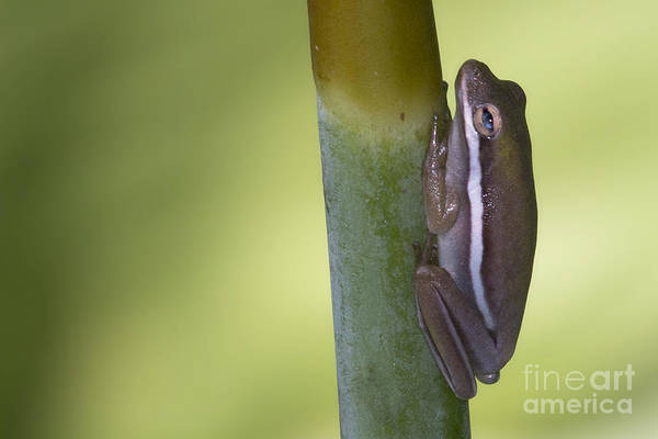 Photograph - Tree Frog by Meg Rousher