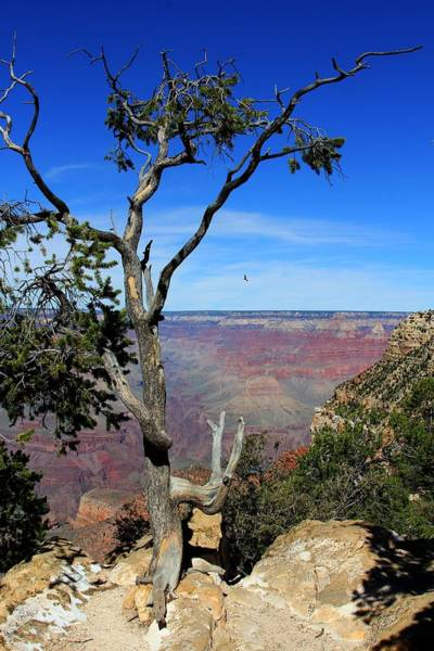 Photograph - Tree Grand Canyon by Michael Hope