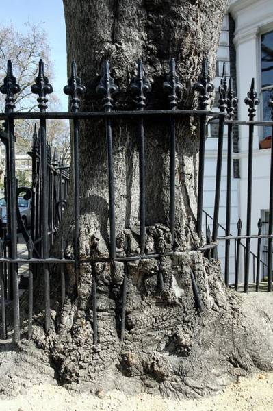 Iron Fence Wall Art - Photograph - Tree Growing Into Railings by Peter Falkner/science Photo Library