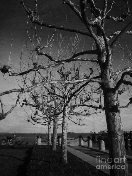Photograph - Tree In A Row  by Andrea Anderegg