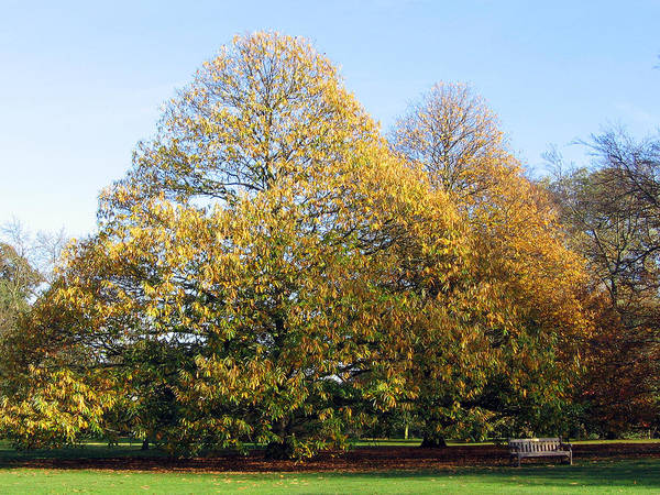 Photograph - Tree In Kew Gardens by Helene U Taylor