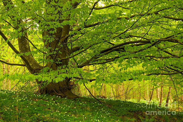 Photograph - Tree In Springtime by Lutz Baar