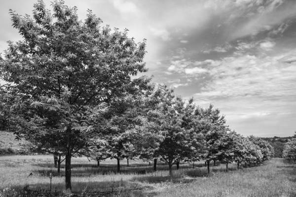 Photograph - Tree Line In Mono by Georgia Fowler