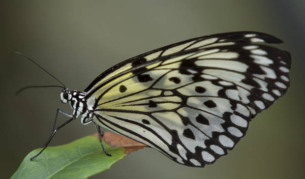 Photograph - Tree Nymph Butterfly by Sean Allen